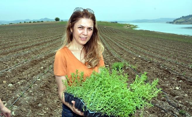 Adana 'Lavanta' kokacak